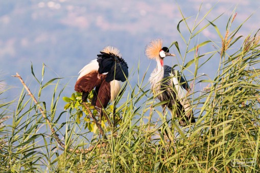 Grey-Crested Crane on Lake Bunyoni