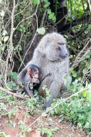 Random baboon