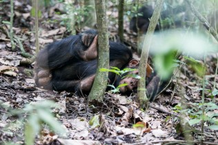Chimps at Kyambura Gorge