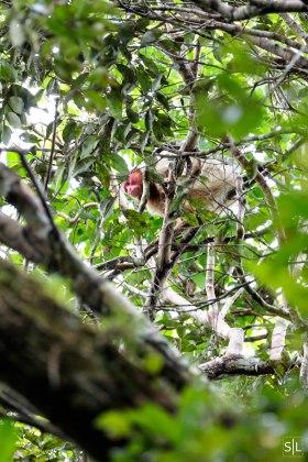 Uacari Monkey