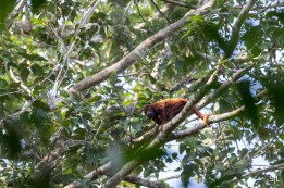 Howler Monkey with baby