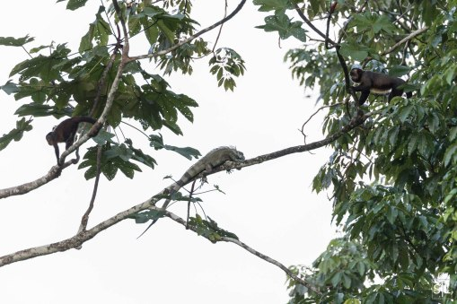Capuchin Monkey with Iguana
