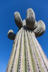 Life saguaro cactus