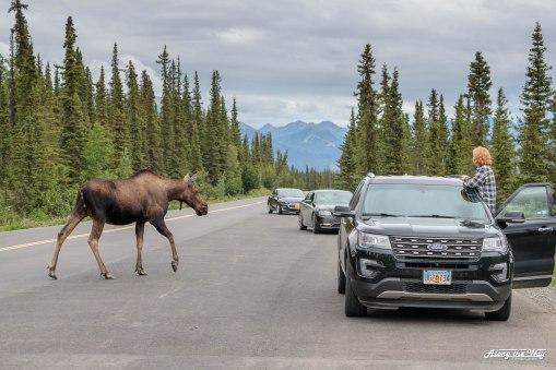 Moose traffic jam