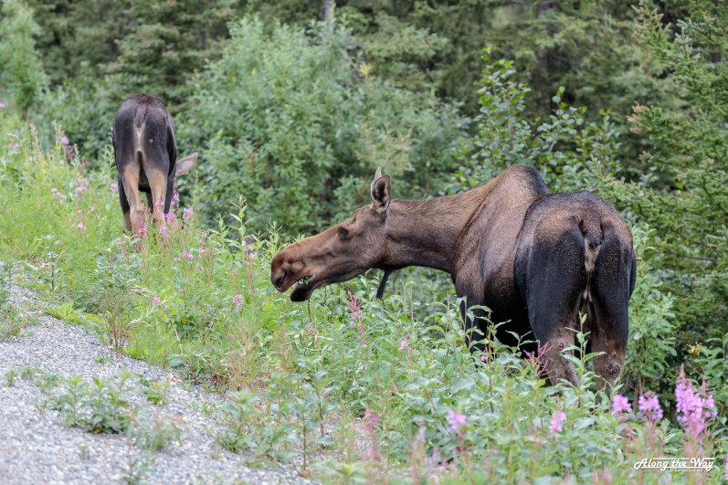 Moose with calf