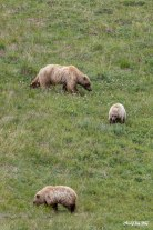 Grizzly (brown) bear with cubs