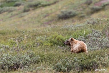 Grizzly (brown) bear cub