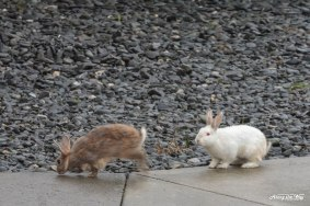 Snowshoe hares