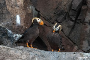 Puffin at the SeaLife Center