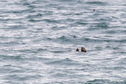 Sea otter in Homer