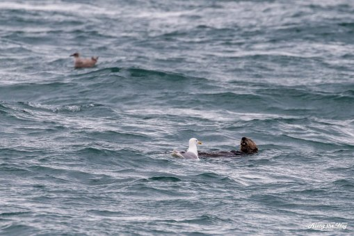 Sea otter in Homer