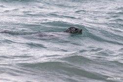 Seal otter in Homer